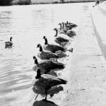 Geese B+W
